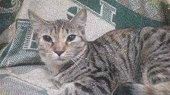 Domestic Shorthair Kitten for adoption in wyoming valley, Pennsylvania - Belle