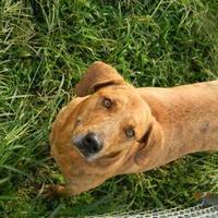 Adopt A Pet :: Boomer - Monticello, GA