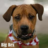 Boxer Mix Dog for adoption in Amarillo, Texas - Big Rex