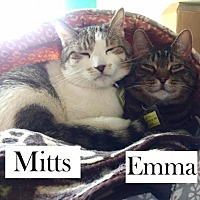 Adopt A Pet :: Mitts - Lakewood, CO