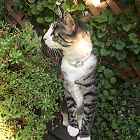 Domestic Shorthair Cat for adoption in West Orange, New Jersey - Lily (and Ash)