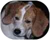 Beagle Dog for adoption in Eatontown, New Jersey - Ginger