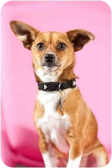 Basenji/Chihuahua Mix Dog for adoption in Portland, Oregon - Trixie