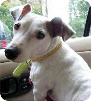 Jack Russell Terrier Mix Dog for adoption in Rhinebeck, New York - Sweet Pea