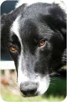 Border Collie Dog for adoption in San Pedro, California - DANNY BOY