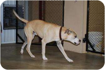 Boxer Mix Dog for adoption in Cranford, New Jersey - Buddy