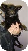 Papillon/Pomeranian Mix Dog for adoption in Staunton, Virginia - Jasmine