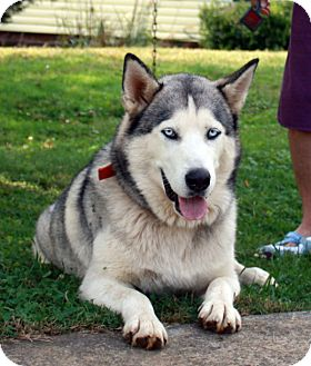 Alaskan Malamute/Husky Mix Dog for adoption in Augusta County, Virginia - Wolf - loves to howl