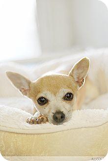 Chihuahua Dog for adoption in Berkeley, California - Smidge