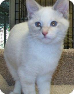 Domestic Shorthair Kitten for adoption in Grants Pass, Oregon - Paris