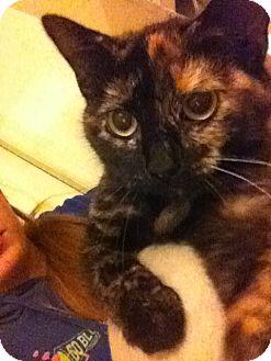 Domestic Shorthair Cat for adoption in Lexington, Kentucky - Persephone