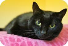 Domestic Shorthair Cat for adoption in Medford, Massachusetts - Grrr
