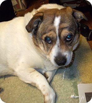 Pug/Beagle Mix Dog for adoption in Duluth, Minnesota - Bubba-Louie