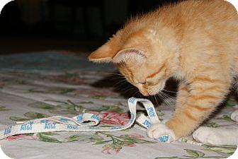 Domestic Shorthair Kitten for adoption in Trevose, Pennsylvania - Zoey