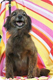Sheltie, Shetland Sheepdog/Dachshund Mix Dog for adoption in River Falls, Wisconsin - Gabe