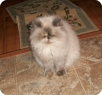 Himalayan Cat for adoption in Martinsville, Indiana - Shy