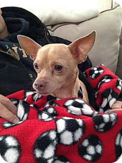Chihuahua Dog for adoption in Marlton, New Jersey - Chico