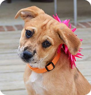 Catahoula Leopard Dog/Rhodesian Ridgeback Mix Puppy for adoption in Westport, Connecticut - *Destiny - PENDING