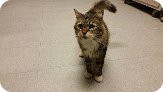 American Shorthair Cat for adoption in Indianola, Iowa - Mcgriff
