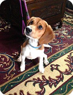 Beagle Mix Dog for adoption in Hillsboro, Illinois - Jack