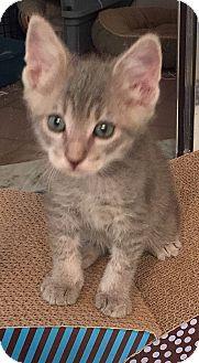 Domestic Shorthair Kitten for adoption in Tampa, Florida - Lennox