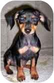 Dachshund Mix Puppy for adoption in Cairo, New York - Lavern