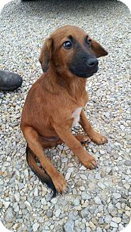 German Shepherd Dog/Labrador Retriever Mix Dog for adoption in Huntingburg, Indiana - Kip