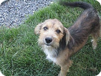 Terrier (Unknown Type, Small) Mix Dog for adoption in Liberty Center, Ohio - Starla