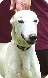 Greyhound Dog for adoption in Randleman, North Carolina - Dorothy