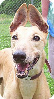 Greyhound Dog for adoption in Randleman, North Carolina - Hypatia