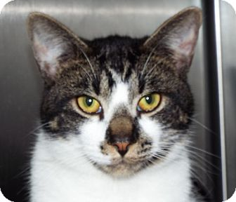 Manx Kitten for adoption in Grants Pass, Oregon - Charlie