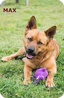 German Shepherd Dog/Cattle Dog Mix Dog for adoption in Patterson, California - Max