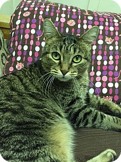 American Shorthair Cat for adoption in Phoenix, Arizona - Molly