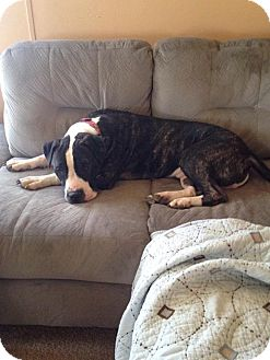 Pit Bull Terrier/Mastiff Mix Dog for adoption in Fort Wayne, Indiana - Fred
