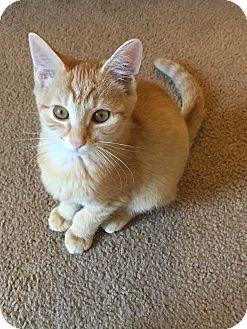 Domestic Shorthair Kitten for adoption in Greensburg, Pennsylvania - Lenny