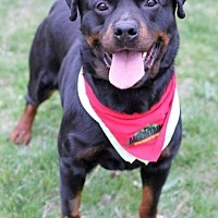 Rottweiler Dog for adoption in Rexford, New York - Raquel