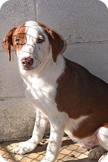 Labrador Retriever/Hound (Unknown Type) Mix Dog for adoption in Beaumont, Texas - Presley