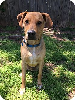 Labrador Retriever/Shepherd (Unknown Type) Mix Dog for adoption in oklahoma city, Oklahoma - Cooper