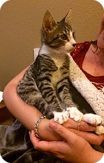 Domestic Shorthair Cat for adoption in Napa, California - Vacaville - Buzz