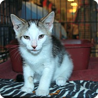 Domestic Shorthair Kitten for adoption in Rochester, Minnesota - Raggedy Andy