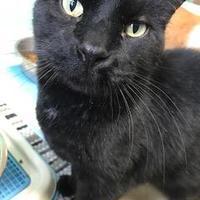 Domestic Shorthair/Domestic Shorthair Mix Cat for adoption in Fond du Lac, Wisconsin - Daniel