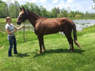 Standardbred/Standardbred Mix for adoption in Novelty, Ohio - Noah