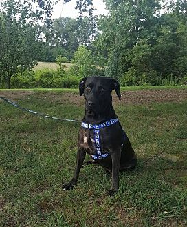 Labrador Retriever Mix Dog for adoption in Southbury, Connecticut - Fiona