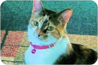 Calico Cat for adoption in Clarksville, Indiana - Sasha
