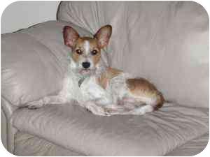 Chihuahua/Schnauzer (Miniature) Mix Dog for adoption in Newburgh, Indiana - Rosco