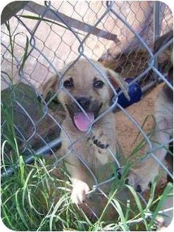 Shepherd (Unknown Type) Mix Puppy for adoption in Haughton, Louisiana - Chadam