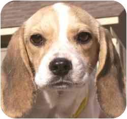 Beagle Dog for adoption in Stafford, Virginia - Kibbles