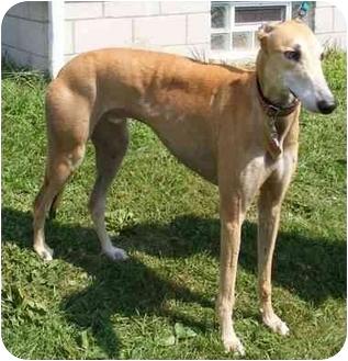 Greyhound Dog for adoption in Fremont, Ohio - Red