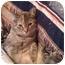 Photo 3 - Domestic Shorthair Cat for adoption in Little Rock, Arkansas - Terrie