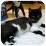 Photo 2 - Domestic Mediumhair Kitten for adoption in Snohomish, Washington - NICO